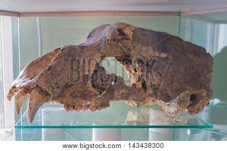 Big Brown Bear, Ursus Arctos, Old Skull