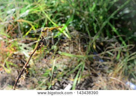 Yellow Dragonfly above the Wood Stick, Thailand