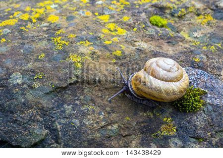 Snail Crawling On Stone.