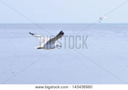 flying seagull near the ocean ,seagull bird