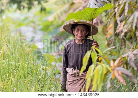 farmers harvesting rice in rice field in Thailand.