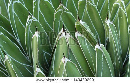 Close up photograph of a succulent desert plant.