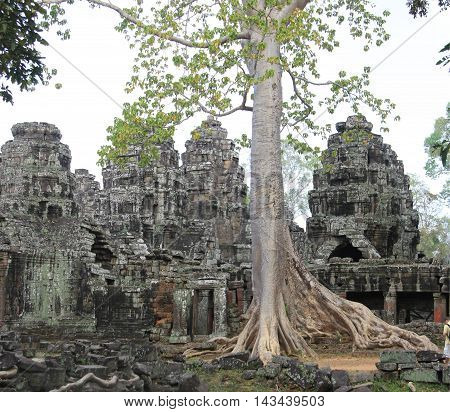 A Tetrameles tree grows in Ta Prohm in the Siem Reap Province, Cambodia