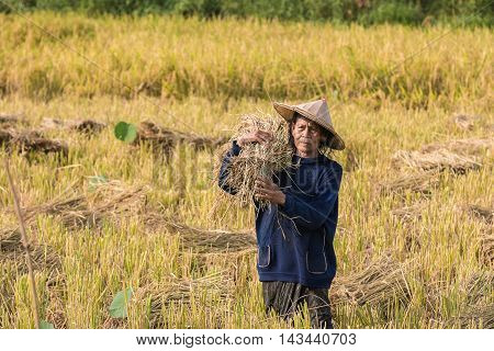 Old woman cutting rice in the fields at rural.