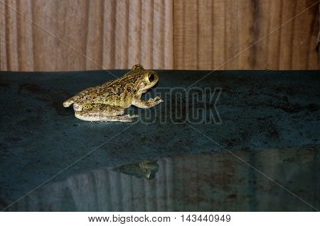 A wet frog in profile sits on a wet green table with fence in the background with head reflected on puddle on table..