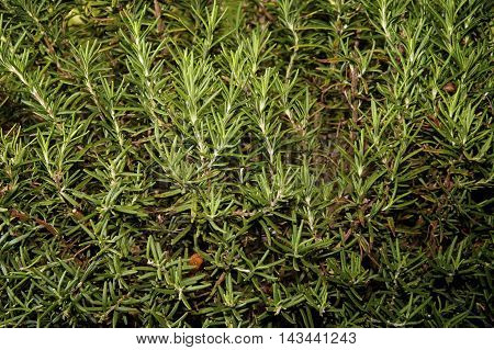 Close up of Rosemary plant with branches and leaves filling image.
