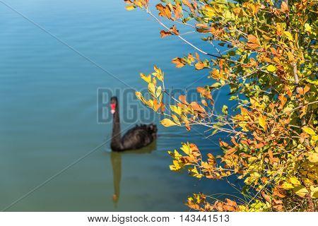 Black Swan Bird On A Lake