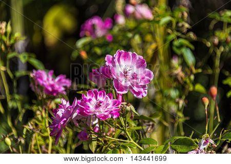 Beautiful Rosehip, Dog Rose Flower On Sunny Day
