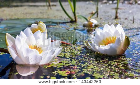 Flowers of White Lily or Lotus with dew drops in a pond. Selective focus.