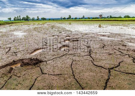 Footprint Of Farmer On Rice Seedlings Growing On The Barren Fields.