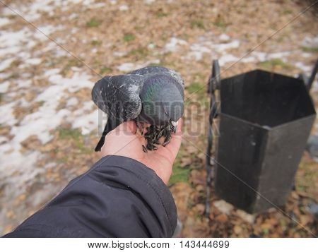 Pigeon sitting on a human hand. A man feeds pigeons with his hands.