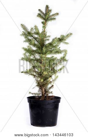 Sapling of  spruce on a white background