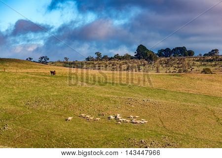 Farm Animals On Paddock. Agriculture Outback Landscape