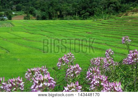 Flower in front of rice field terraces at Mae Klang Luang, Chiangmai, Thailand.