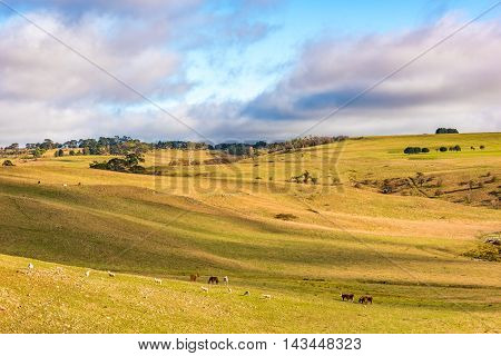 Agriculture Outback Landscape With Farm Animals Grazing On Paddock.