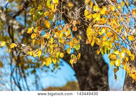 Yellow Poplar Leaves With Copy Space