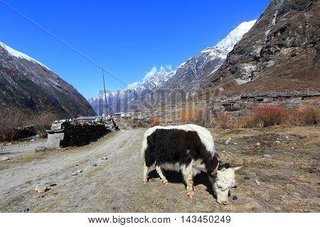 Yak and scenery of Langtang himalaya mountain range one of the popular trekking route in Nepal