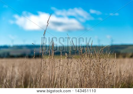 Dry Spike Of Grass