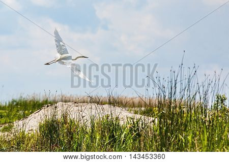 Photo of flying little egret in Danube Delta