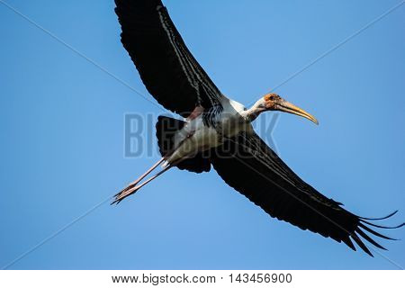 the painted stork fly on blue sky