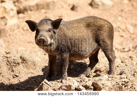 the baby wild boar stand in nature