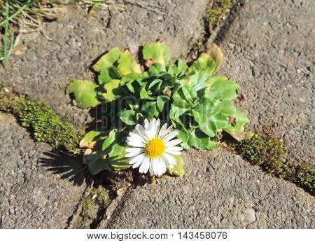 Daisy flower growing between cobblestones on a sidewalk.
