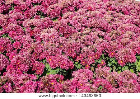Red chrysanthemums in the garden background .