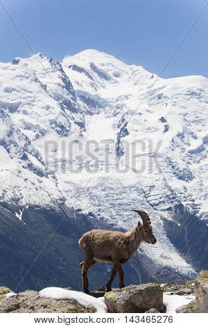 capricorn in the french alps on a sunny day