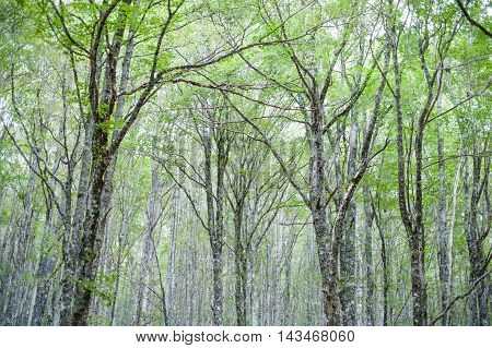 Fascinating Scenic  Green Beech Tree Tips Forest