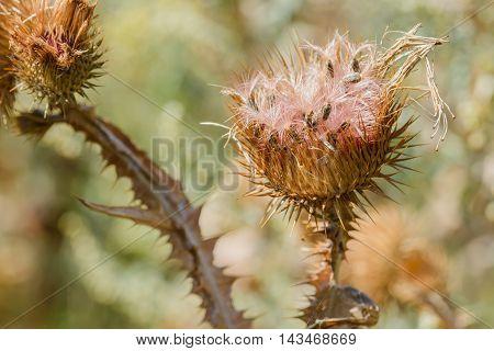 Dry Cirsium Vulgare