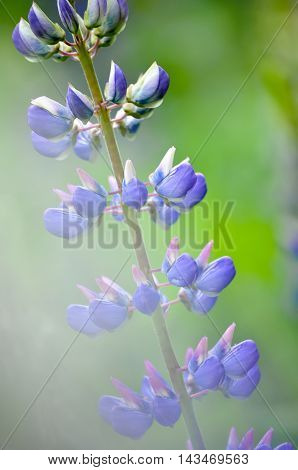 Colorful Garden Of Blooming Lupine Flowers