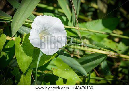 White Calystegia Under The Sun