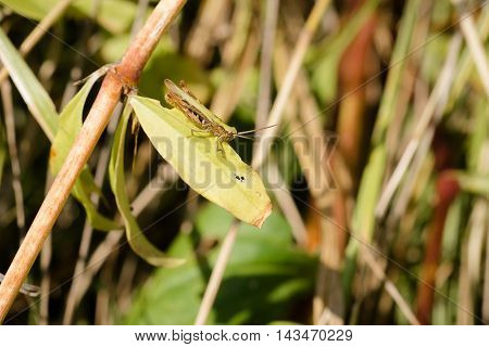 Brown And Green Cricket