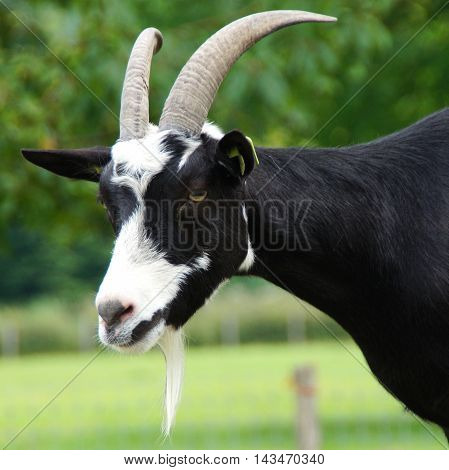 Curious black and white goat with goatee looking