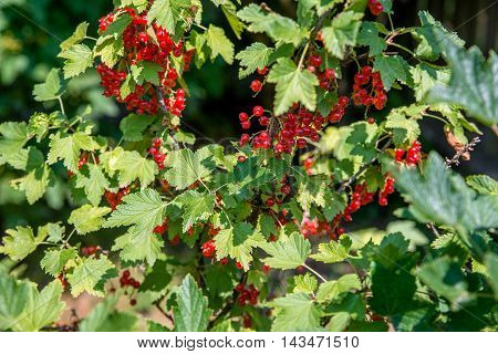 red currant berries ripen on the bush
