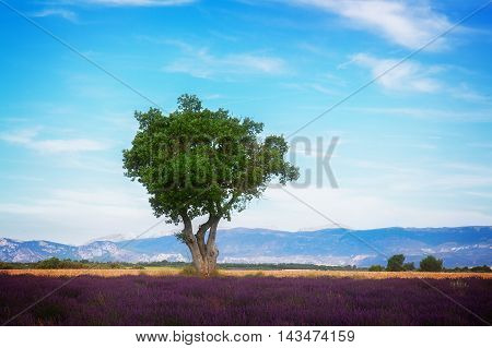 Lavender field and tree with summer blue sky, France, toned