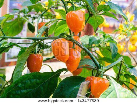 Chili red Savina Habanero very spicy in the world.