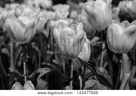 black and white bloom tulips flower background
