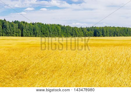 The yellow wheat field and forest summer day
