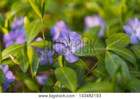 blue periwinkle flowers growing in the meadow