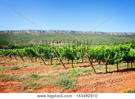 Vineyard green rows under blue summer sky, France, toned