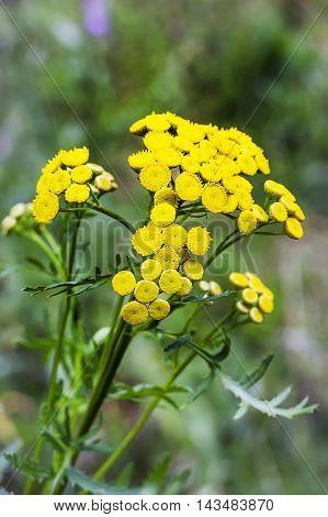 Medicinal plant common tansy ( Lat. Tanacеtum vulgаre ). Flowering plant