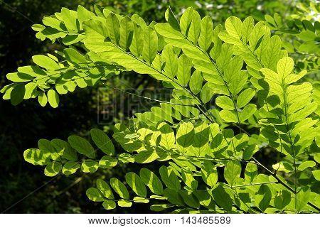 Sunlight illuminates the Black Locust leaves in the park