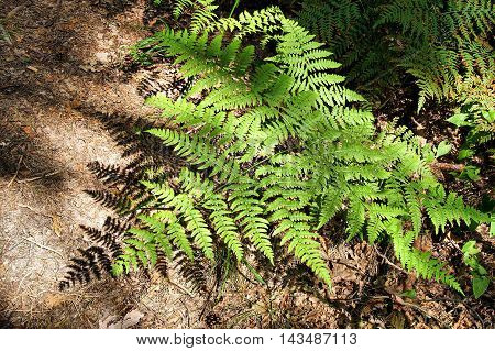 Openwork fern casts beautiful shadows on the ground in the forest