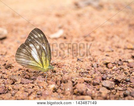 Closeup butterfly with on sand at Pang Sida National Park Sa Kaeo Thailand