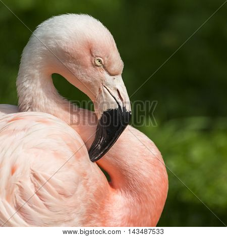 Detail Of The Head Of One Pink Flamingo.
