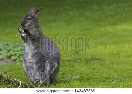 Wallaby On A Farm Over Green Background.
