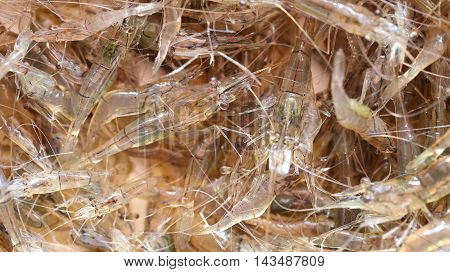 Macro of freshwater shrimp (LANCHESTER'S FRESHWATER PRAWN)In Thailand this popular in the cooking.