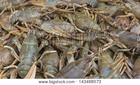 Crawfish. Cancer. Cooked crabs for food on the market