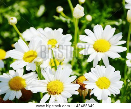 closeup white chamomile flowers in summer day